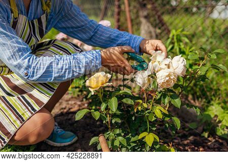 Woman Deadheading English Spent Rose Blooms In Summer Garden. Gardener Cutting Dry Flowers Off With