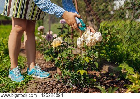 Woman Deadheading Graham Thomas Wilted Roses In Summer Garden. Gardener Cutting Dry Flowers Off With