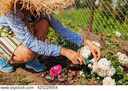 Young Woman Deadheading White Wilted Roses In Summer Garden. Gardener Cutting Dry Flowers Off With P