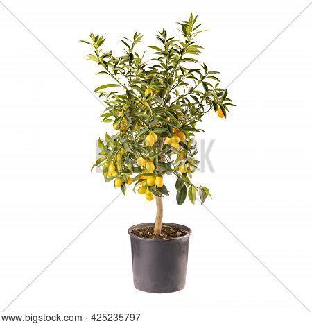 Decorative Small Fruit-bearing Trees Of Kumquat Or Citrus Japonica Plant Isolated On White Backgroun