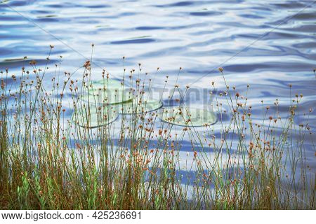 Tall Grass With Yellow Flowers Growing On Lake Bank With Blue Sky Reflection In Rippled Water Backgr