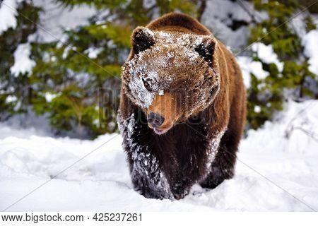 A Brown Bear In The Forest. Big Brown Bear. Ursus Arctos.