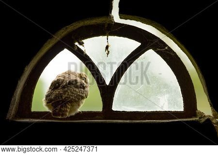 A Close Up Of A Little Owl (athene Noctua) Looking Out Of The Broken Window Of An Old Barn