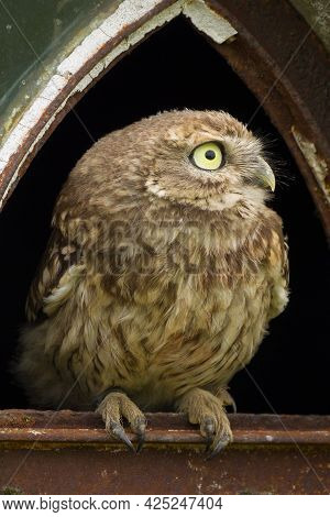 A Close Up Of A Little Owl (athene Noctua) Perched In The Broken Window Of An Old Barn