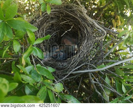 Nest With Starling Chicks Protected By Branches