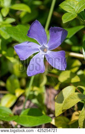 Lesser Periwinkle (vinca Minor) Flower