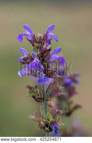 Close Up Of A Garden Sage (salvia Officinalis) Plant In Bloom