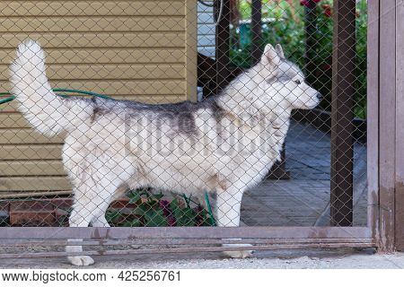 Husky Pet Dog Guards The House In The Yard Behind The Fence In Summer.