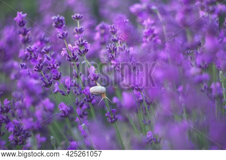 Lavender, Background Of Purple Flowers. A White Snail Crawls In Lavender Flowers. Lavender Is Used T