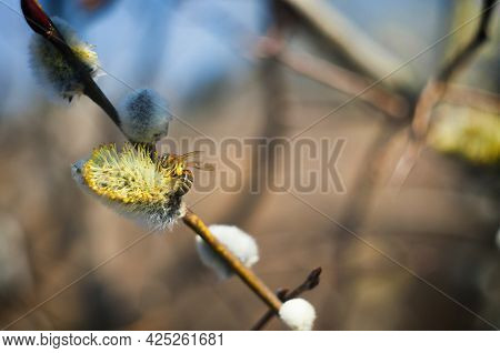 Bee Collects Nectar On A Flowering Tree. High Quality Photo