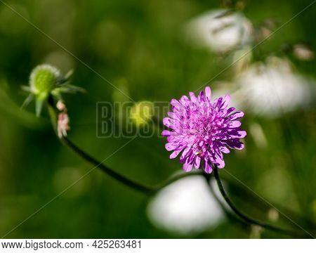 Up-close Photo Of A Trifolium Pratense In A Meadow