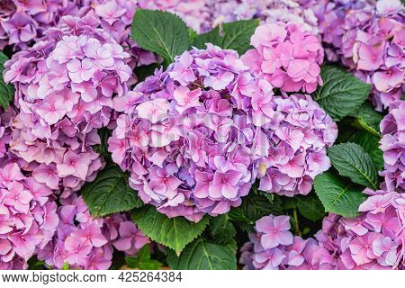Colorful Pink-lilac Flowers Of Hydrangea Macrophylla, Hortensia. Beautiful Floral Background
