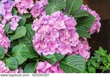 Pink Hydrangea, Hortensia, Bright Flower Head Close-up