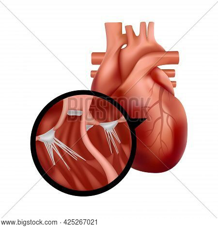 Realistic Human Heart With Cross-section Close-up. Heart Organ Illustration.