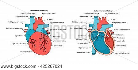 Anatomically Correct Heart With Descriptions. Human Heart Anatomy With Cross-section And Non-cross V