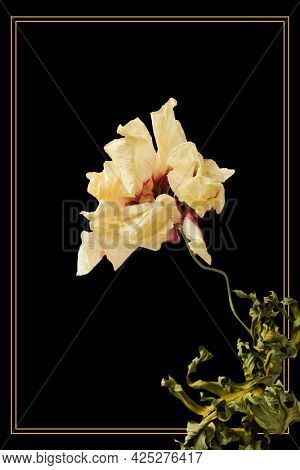 Gold frame with a dried anemone flower on a black background