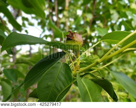 Small Unripe Pear Fruit In The Crown Of A Tree Close-up.