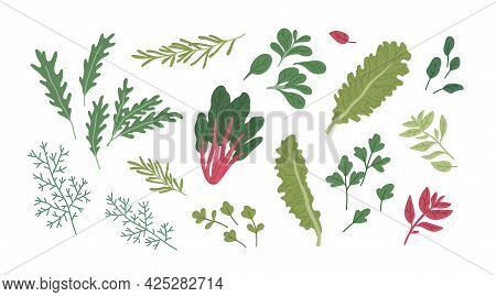 Set Of Fresh Green Herbs And . Raw Organic Seasonings And Herbal Plants. Leaf Of Dill, Rosemary, Bas