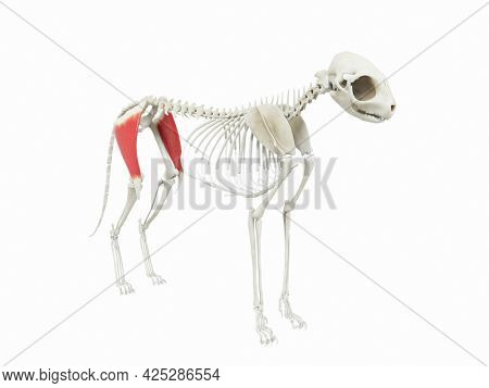 3d rendered illustration of the cats muscle anatomy - tensor fascia latae