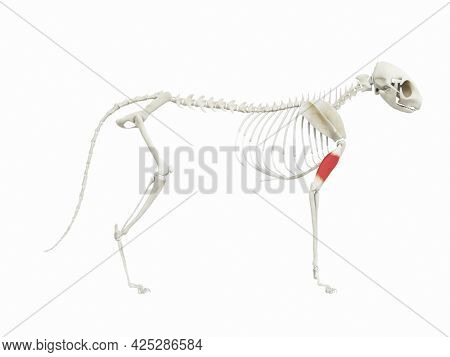 3d rendered illustration of the cats muscle anatomy - triceps brachii