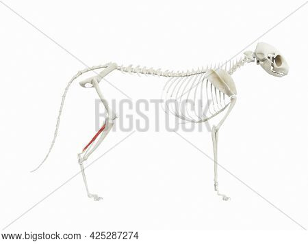 3d rendered illustration of the cats muscle anatomy - calcanean tendon