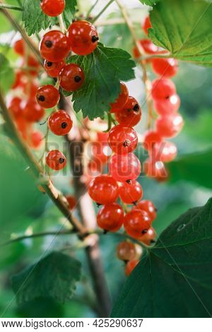 Juicy Ripe Red Currant. Red Currants On A Bush. Red Currants In The Garden. Currant Harvest.