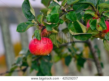 red apple on a branch