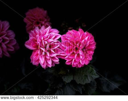 Beautiful pink flowers close up