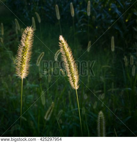Close Up Of Backlit Bristle Grass In Field, Problematic Green Foxtail