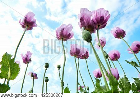 A Field Of Purple Poppies Against A Blue Sky In The Clouds. Natural Landscape. Summer Flowers. Natur