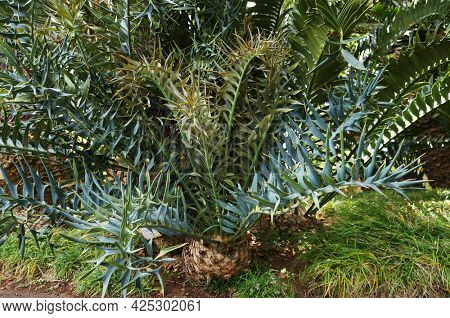Big leaves of Cycad Encephalartos horridus - palm-like tropical and subtropical plant in Tropical garden in Funchal, Madeira island.