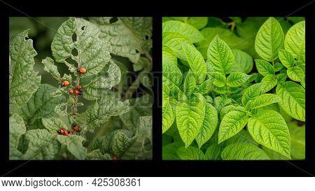 Collage Of Two Images: A Beautiful Green Potato Bush And A Bad Potato Bush Eaten By A Colorado Potat