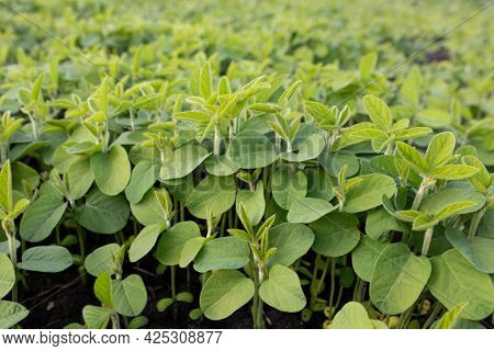 Soy Leaves Close-up. Experimental Fields For Gene Modification Or Farm. Row Of Young Soybean Shoots