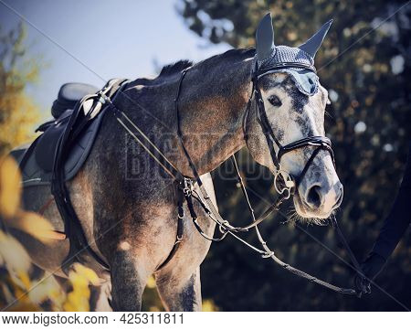 Portrait Of A Beautiful Gray Racehorse With A Saddle On Its Back, Which Is Led By A Horse Breeder By