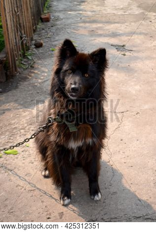 Black Shaggy Dog On A Chain Guarding The House.