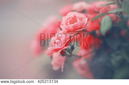 Red-pink Rose Flowers With Delicate Petals Bloom In The Garden Among The Green Foliage On A Foggy Su