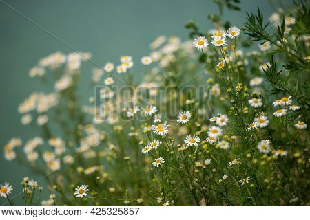 A Field With Daisies On The Shore Of A Blue Lake. Summer Nature.