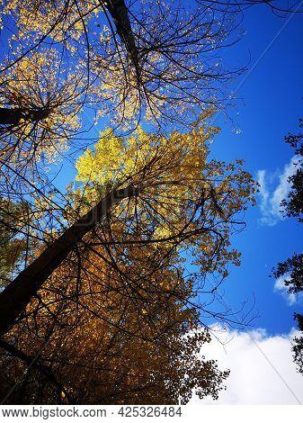 Árboles Otoñales Bajo El Cielo Azul. Foto Tomada En La Alcarria, En Octubre De 2020