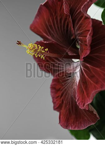 Blooming Indoor Hibiscus Flower On The Windowsill By The Window. Big Red Flower. Houseplants.