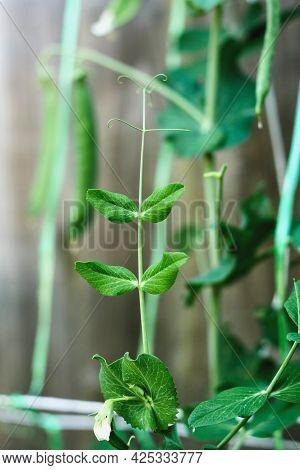 Pods Of Runner Beans Growing In Garden, Summer Fresh Vegetable Harvest