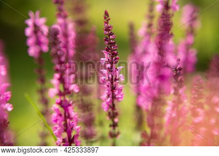 Wild Beauty Flower With Nectar Blooming In Field Countryside