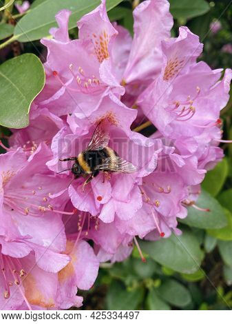 Bumblebee Collects The Nectar Of Blooming Rhododendrons, Summer Time.