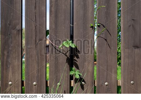 Fragment Of A Wooden Plank Fence With Metal Rivets And A Climbing Plant. Security Concept. Backgroun
