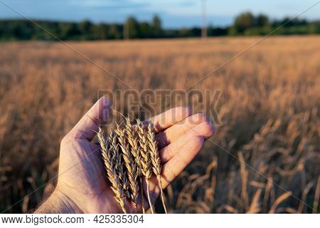 Ripe Wheat Ears Lying In Farmer's Hand With A Wheat Field On The Background In Sunny Summer Evening