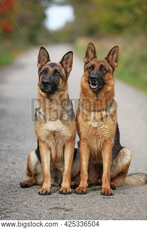 Nice Couple Of German Shepherd In Autumn