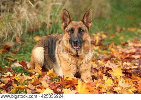 Nice German Shepherd In Autumn
