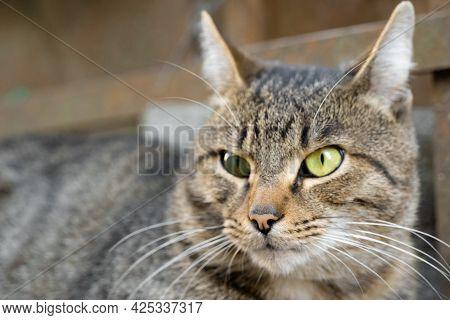 Predatory Gaze Of An Adult Cat.predatory Gaze Of An Adult Cat