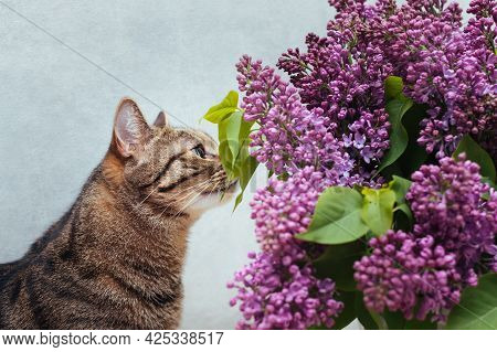 Cat Sniffs A Bouquet Of Lilacs On A Gray Background Close-up