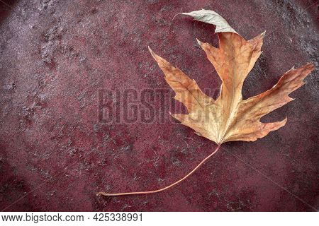 Beautiful Colorful Yellow Red Autumn Leaf Of Acer Saccharinum, Commonly Known As Silver Maple On A D