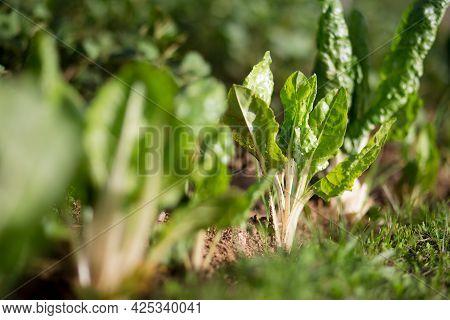 Fresh Organic Green Chard Leaves In The Garden